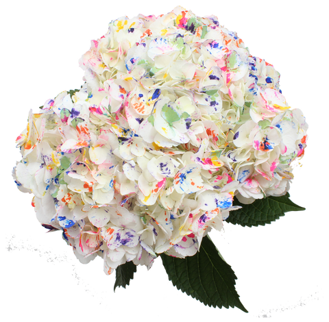 Airbrushed Summer Picaso Hydrangea
