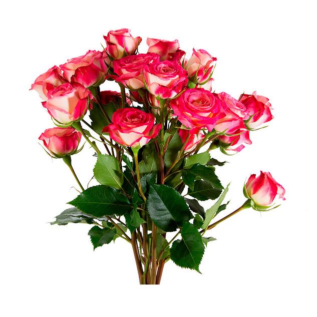 Spray Rose Safina Standard