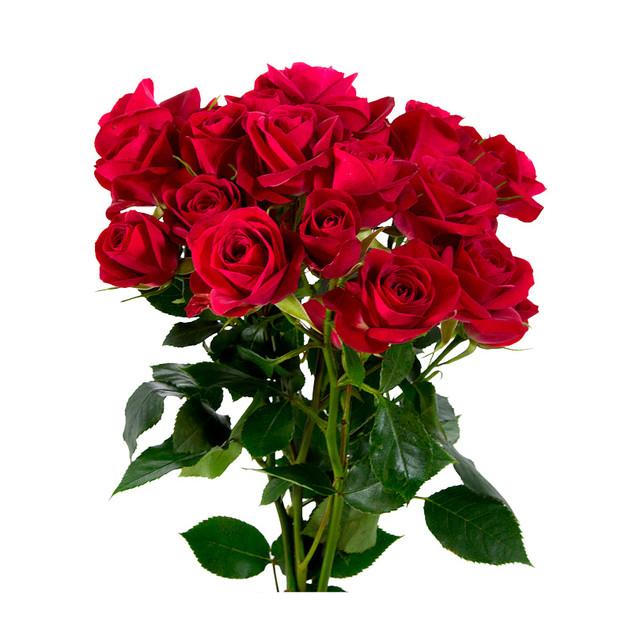 Spray Rose Hot Club Standard