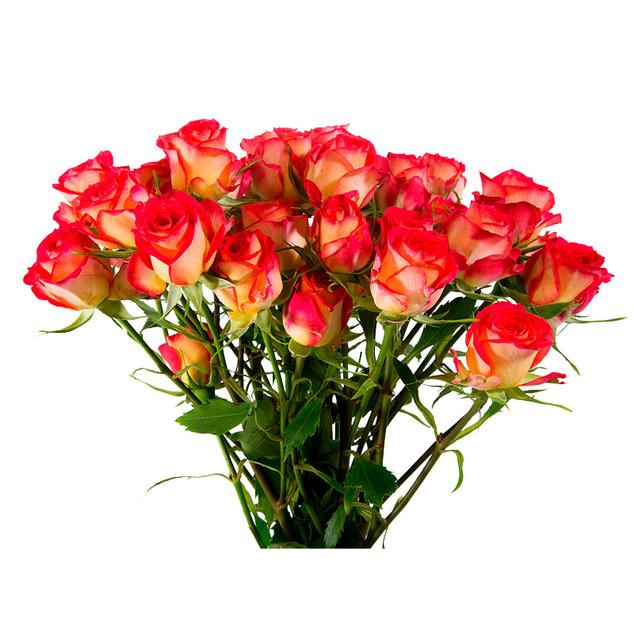 Spray Rose Summer Dance Premium
