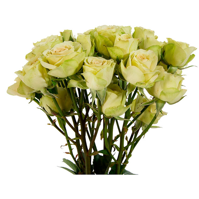 Spray Rose Green Rosever Premium