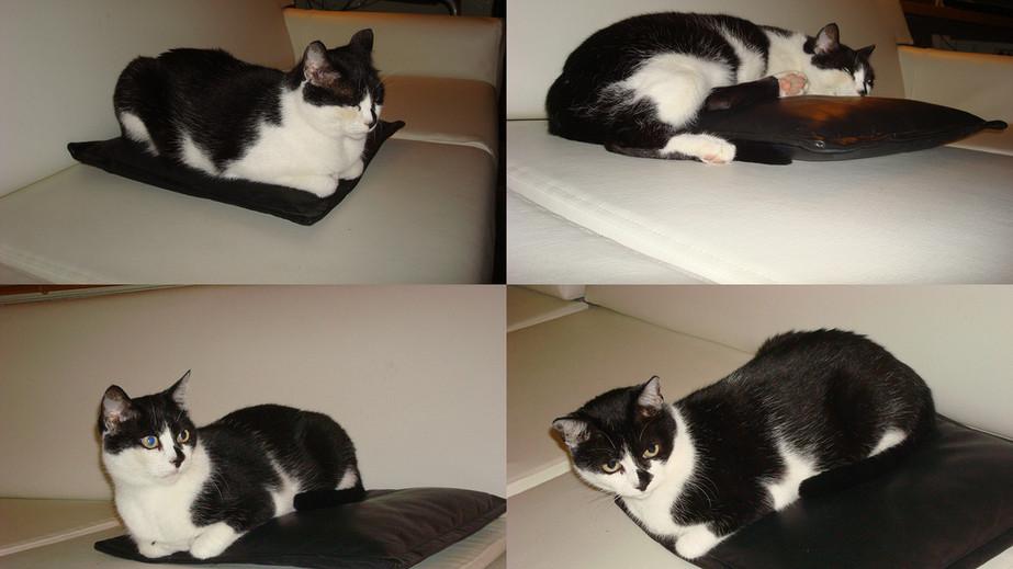 Demised cat - Hopik Karabeyaz