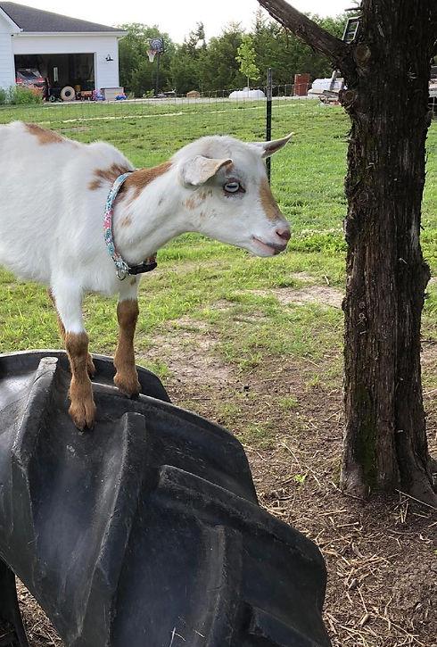 Goat 2_edited.jpg