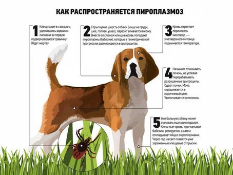 Пироплазмоз собак