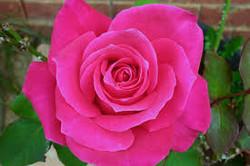 rose.pink