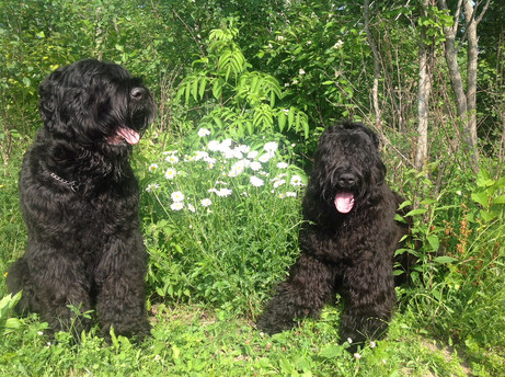 Black Russian Terriers In The Flower Patch