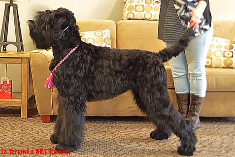 Black Russian Terrier Sasha
