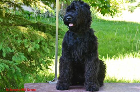 Black Russia Terrier Milia