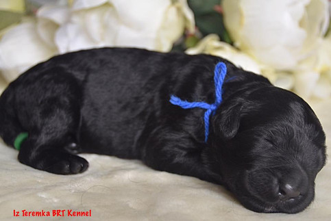Black Russian Terrier Puppy (Blue)