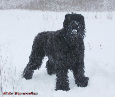 Snow Dog Taras