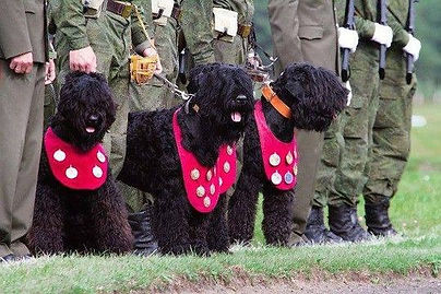 Russian Militia showing their three Black Russian Terriers