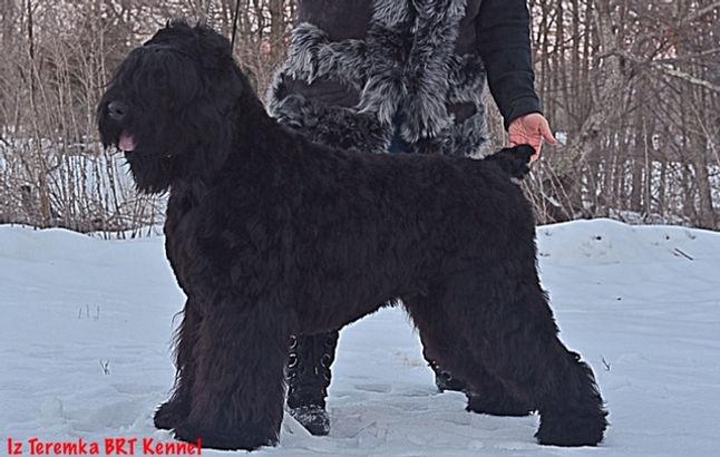 Dasha, a Female Black Russian Terrier