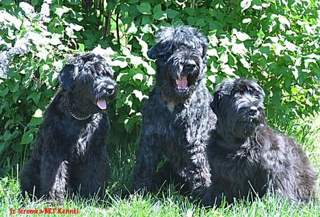 Black Russian Terriers Milia, Groosha and Fima
