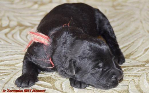 Black Russian Terrier Puppy Glasha