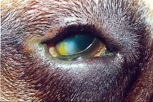 entropion in a dog's eye