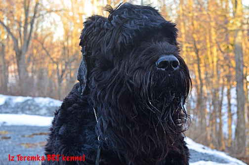 Black Russian Terrier Facial Shot of Dafna