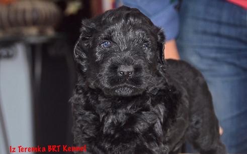 Blue Eyed Black Russian Terrier