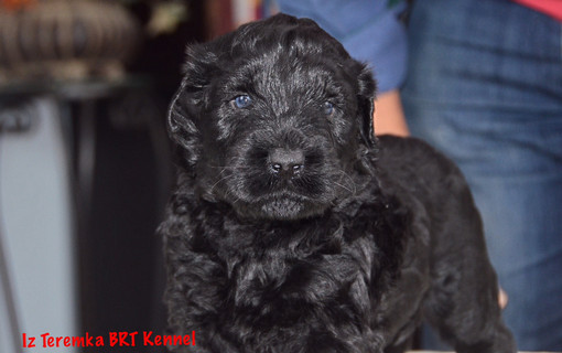 Blue Eyed Black Russian Terrier
