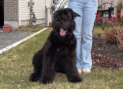 Black Russian Terrier Groosha Iz Teremka