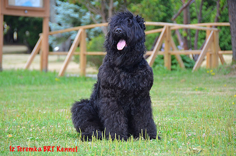 Black Russian Terrier Glasha Iz Teremka InThe Park