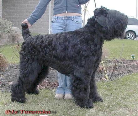 Black Russian Terrier Taras Sideview