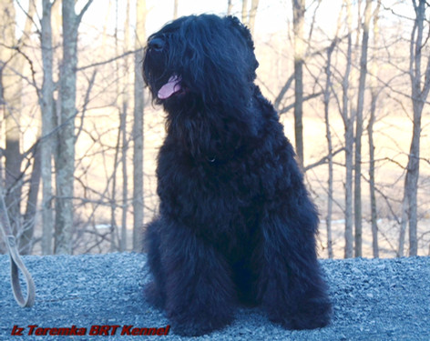 A Sitting Black Russian Terrier Bogdan