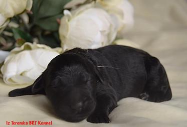 Black Russian Terrier Puppy (White)