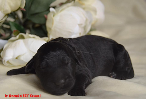 Black Russian Terrier Puppy (White)