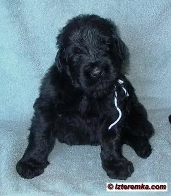 Puppy Lari