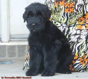 Puppy Yulya