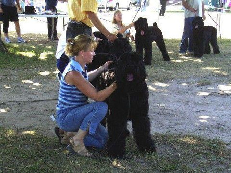 Preparing to Stack Black Russian Terrier Dasha Iz Teremka