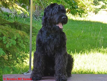 Black Russian Terrier 3-D Art Milonga For Iz Teremka