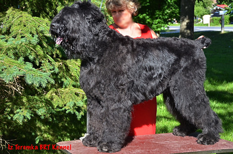 Black Russian Terrier Being Hand Stacked