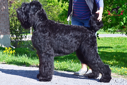 A Stacked Black Russian Terrier Sasha