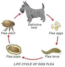 life cycle of a  dog flea