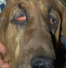 ectropian in dog's eye