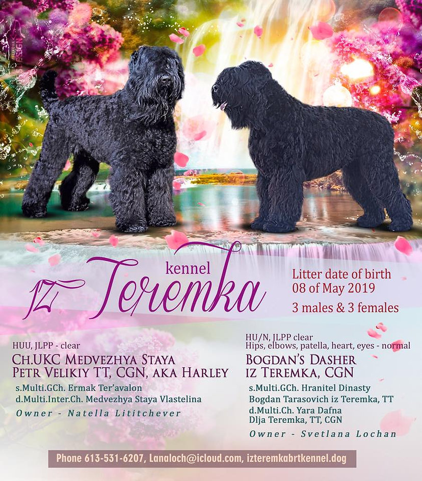 black russian terrier male Harley and black russian terrier female Dasher advertising their litter of May 08th 2019 consisting of three males and three females