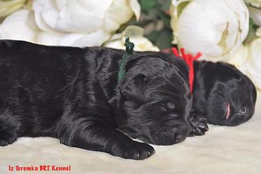 Black Russian Terrier Puppy (Green)