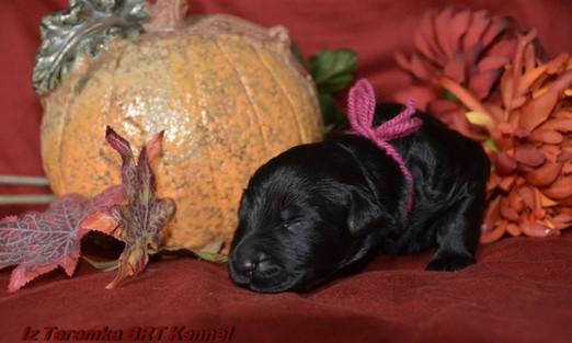 Black Russian Terrier Puppy Angel of Hope