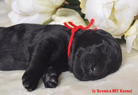Black Russian Terrier Puppy (Red)