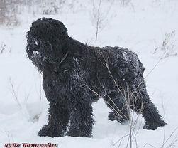 Furry Taras Siberian Star