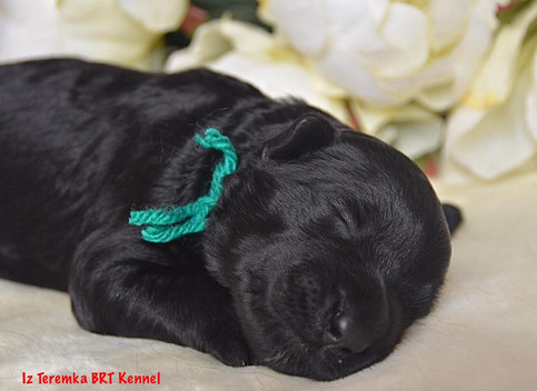 Black Russian Terrier Puppy (Green)