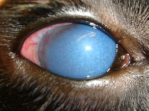glaucoma in a dog's eye
