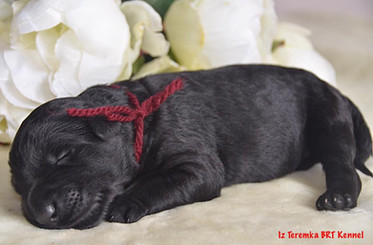 Black Russian Terrier Puppy (Burgandy)
