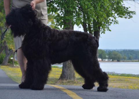 A Mature Black Russian Terrier Glasha