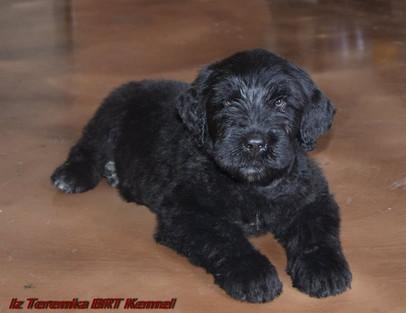 Black Rusian Terrier Puppy