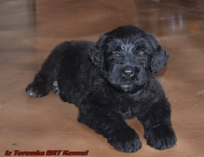 Black Rusian Terrier Puppy