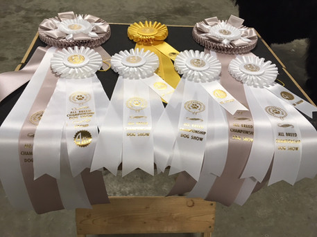 Ribbons Blitzen won at Nippissing Kennel Club Show