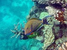 striped surgeonfish   .JPG