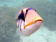 picasso triggerfish.JPG